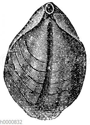 Terebratula vulgaris