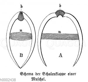 Muschel: Schema der Schalenklappe