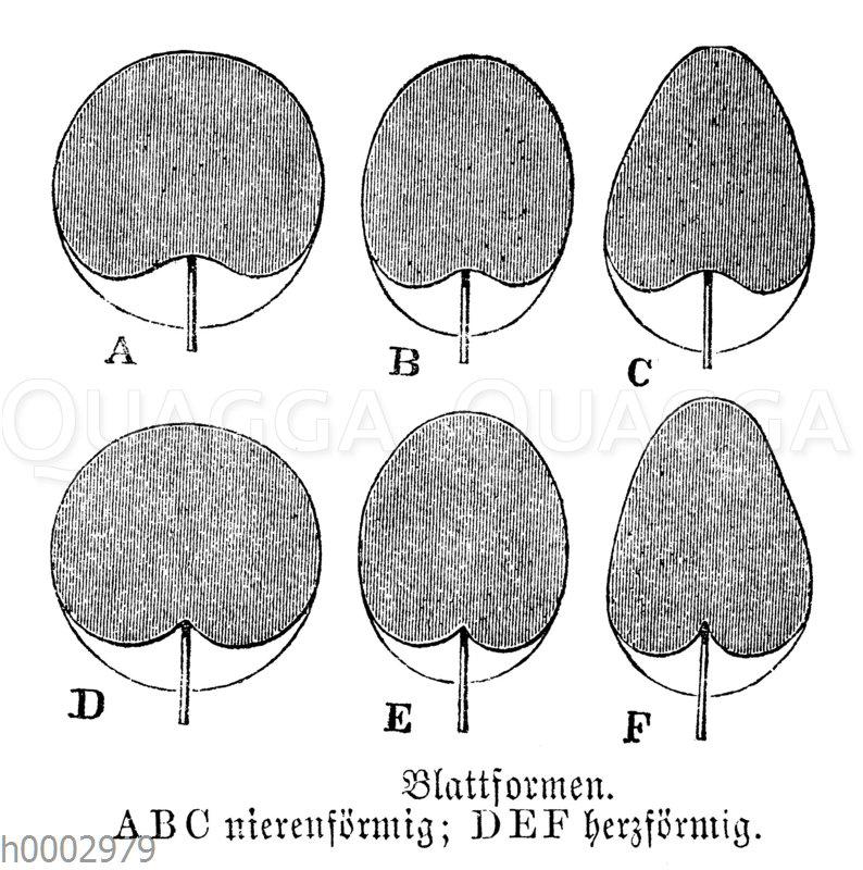 Blattformen: nierenförmig und herzförmig