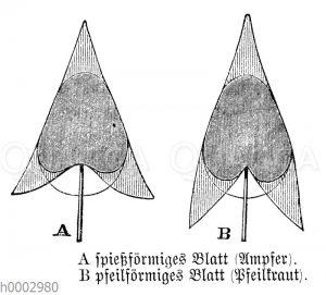 Blattformen: Spießförmig (Ampfer) und pfeilförmig (Pfeilkraut)