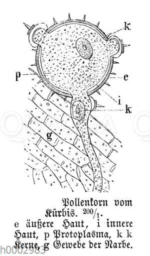 Pollenkorn vom Kürbis
