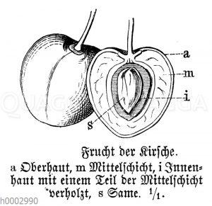 Kirsche: Frucht