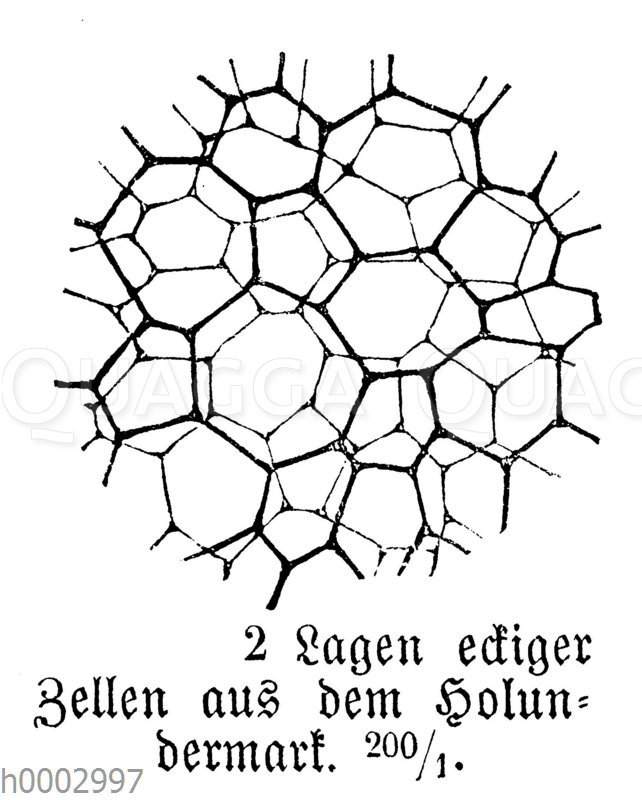 Holundermark: Zellen