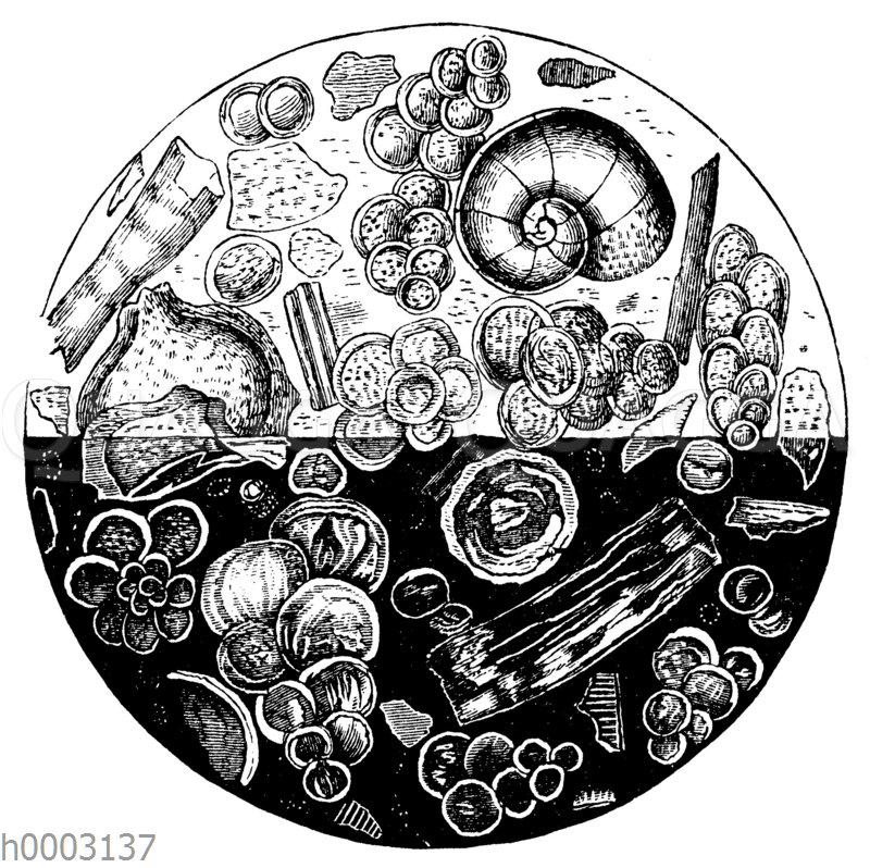 Wurzelfüßer in einer Kreidescheibe
