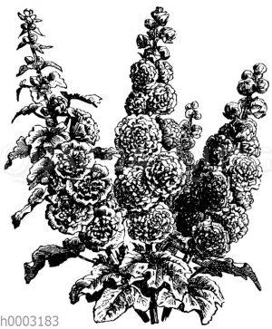 Gartenmalve