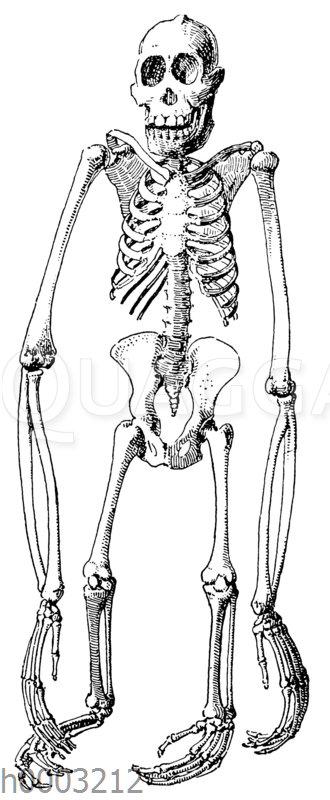 Orang-Utan: Skelett