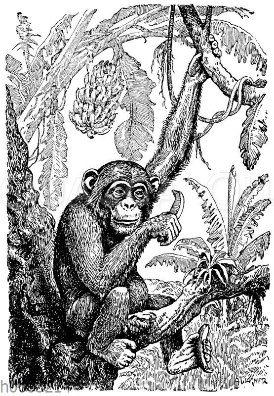 Junger Schimpanse mit Banane und Bananenstaude