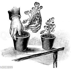 Einpflanzen eines stark entwickelten Sämlings