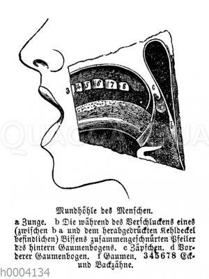 Mensch: Mundhoehle