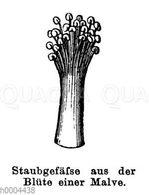 Malve: Staubgefäß aus der Blüte