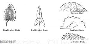 Blattformen: herzförmig