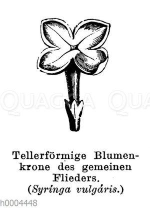 Flieder: Tellerförmige Blütenkrone
