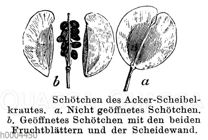 Ackerscheibelkraut: Kapsel