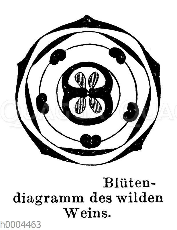 Blütendiagramm des wilden Weins