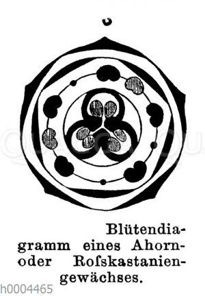 Blütendiagramm eines Ahorngewächses oder Rosskastaniengewächses