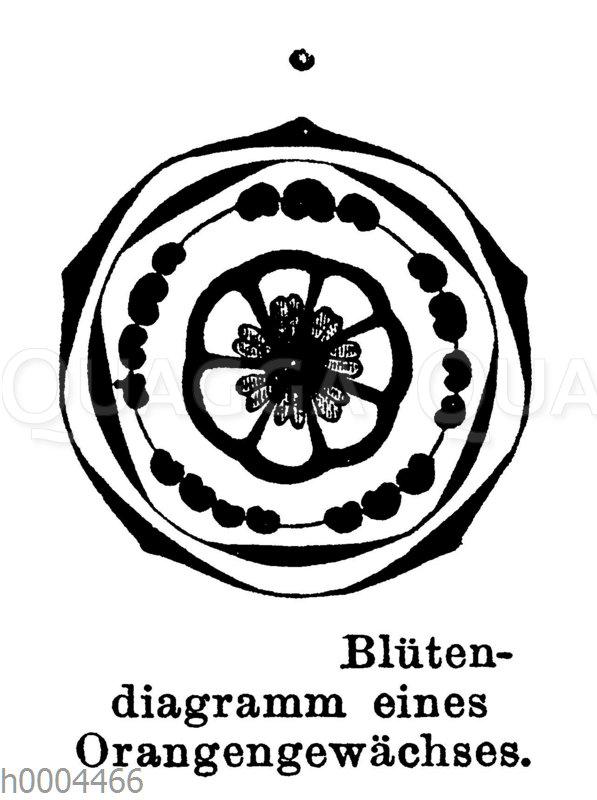 Blütendiagramm eines Orangengewächses