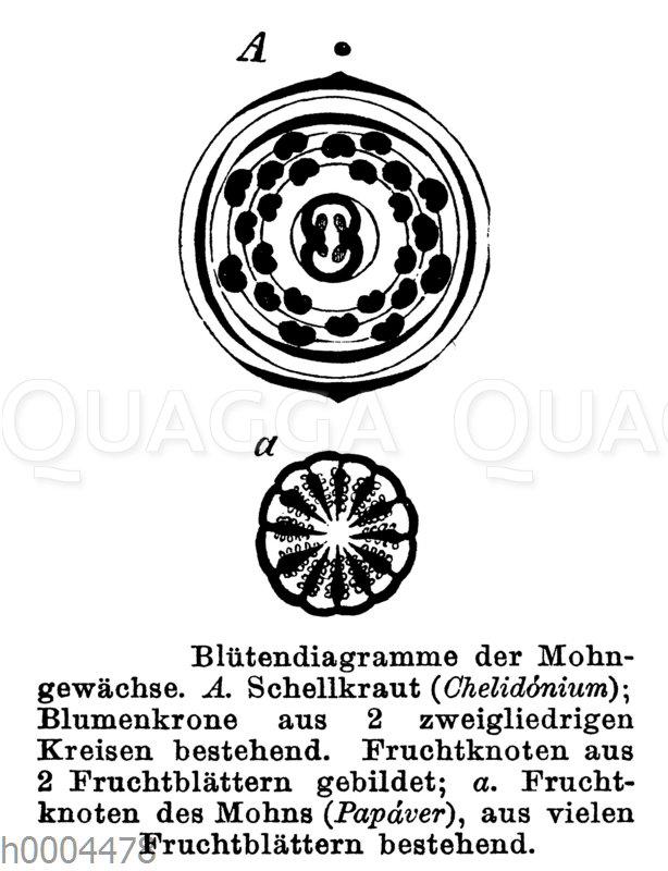 Schöllkraut: Blütendiagramm und Papaver - Mohn: Blütendiagramm