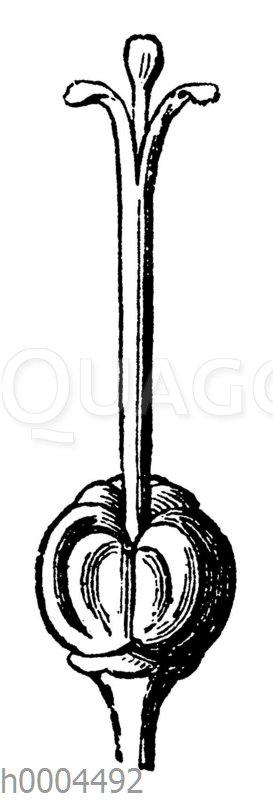 Kapuzinerkresse: Zusammengesetzter Stempel