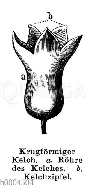 Krugförmiger Blütenkelch
