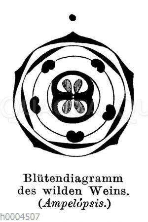 Wilder Wein: Blütendiagramm