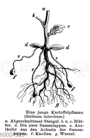 Kartoffel: Jungpflanze