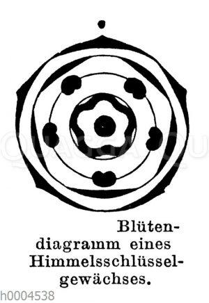 Blütendiagramm eines Himmelsschlüsselgewächses