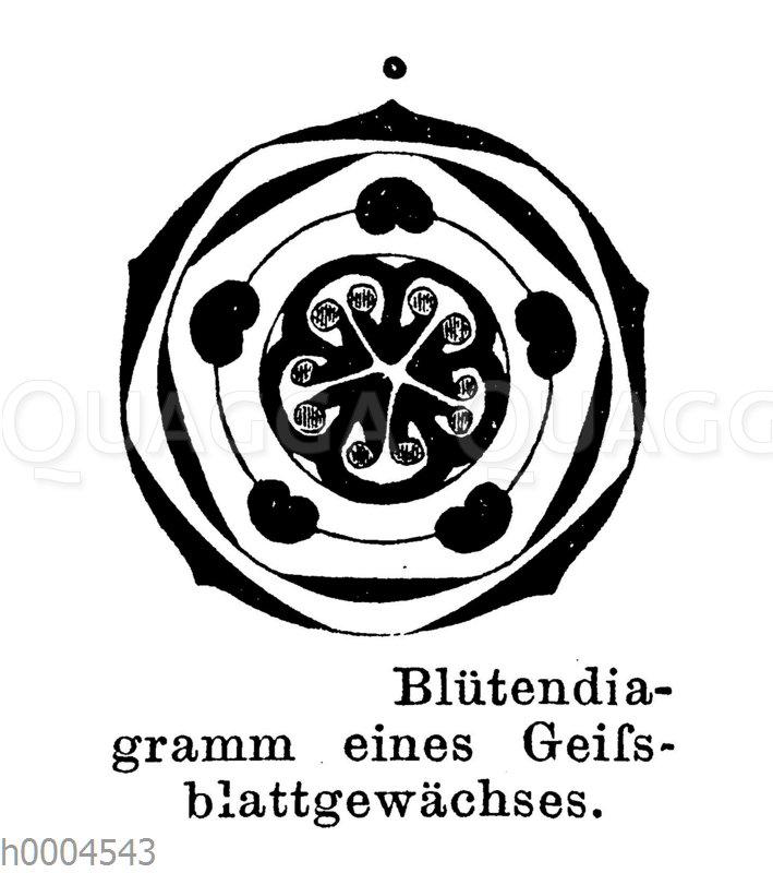 Blütendiagramm eines Geißblattgewächses