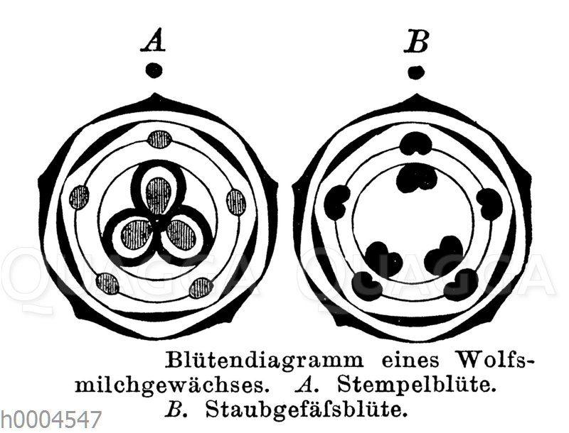 Blütendiagramm eines Wolfsmilchgewächses