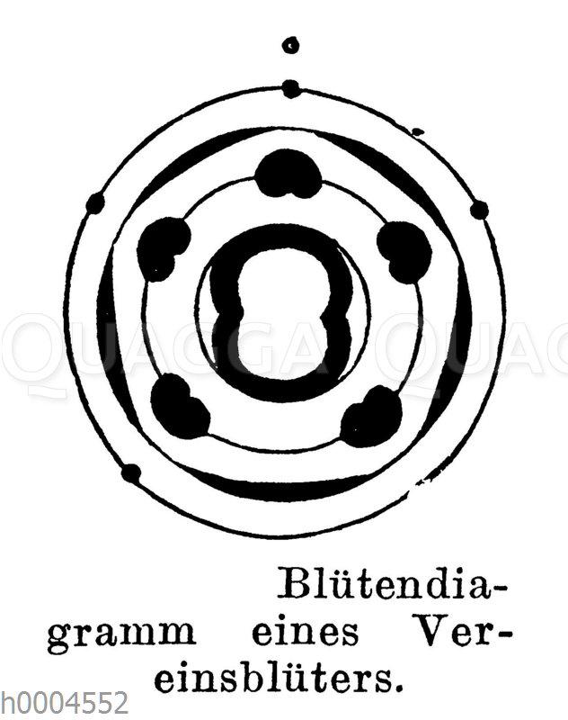 Blütendiagramm eines Vereinsblüters