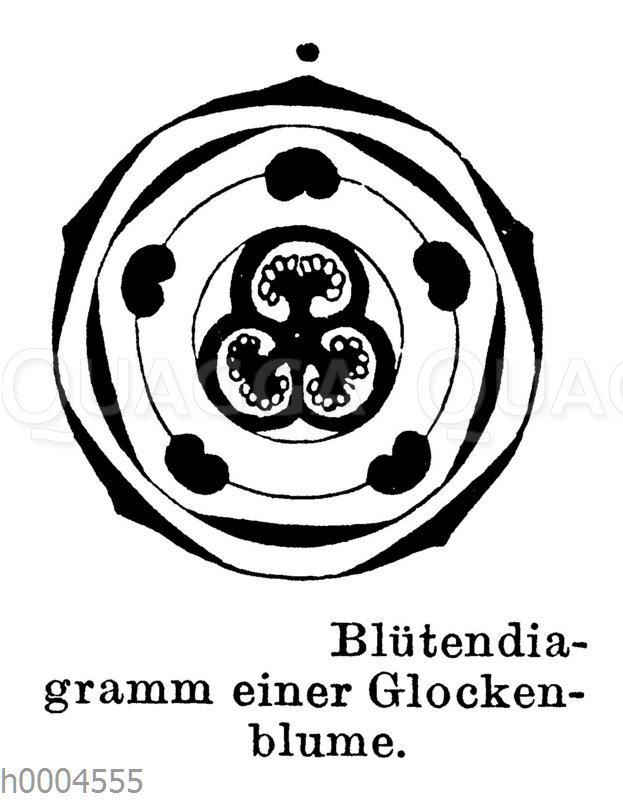 Blütendiagramm einer Glockenblume