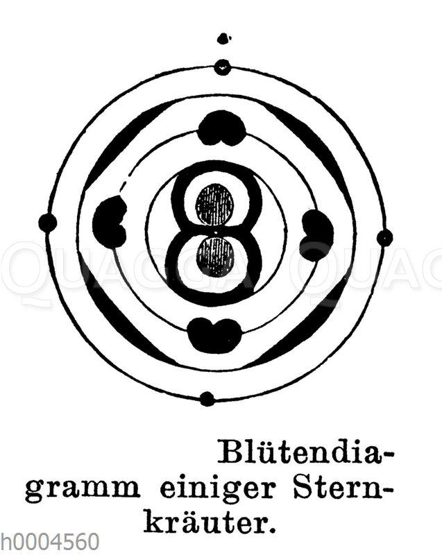 Blütendiagramm einiger Sternkräuter