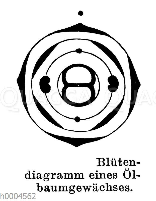 Blütendiagramm eines Ölbaumgewächses