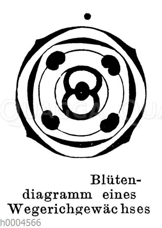 Blütendiagramm eines Wegerichgewächses