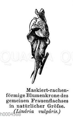 Frauenflachs: Maskiert-rachenförmige Blumenkrone