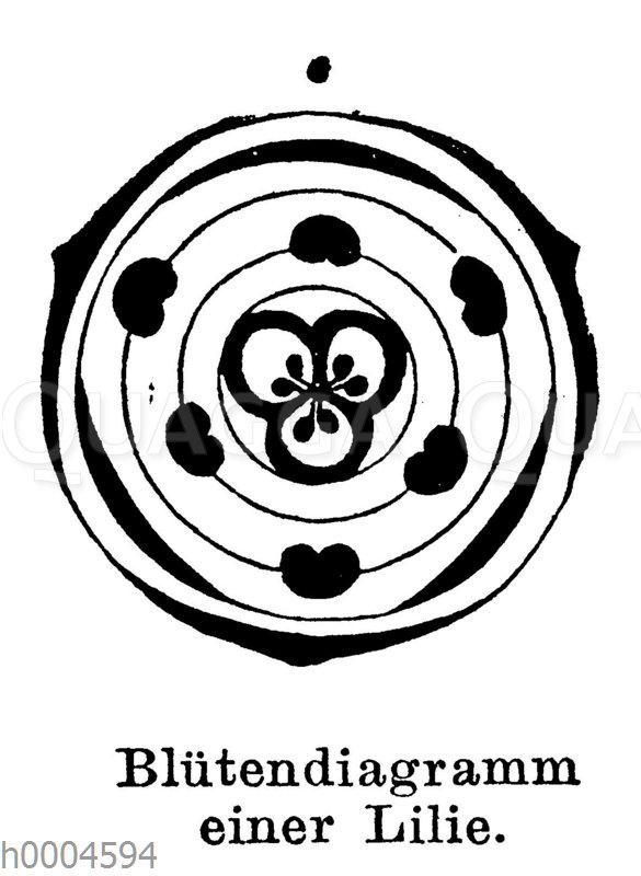 Blütendiagramm einer Lilie