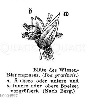 Wiesenrispengras: Blüte