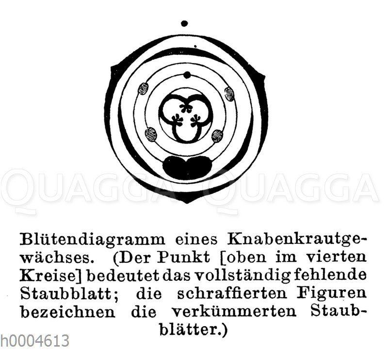 Blütendiagramm eines Knabenkrautgewächses