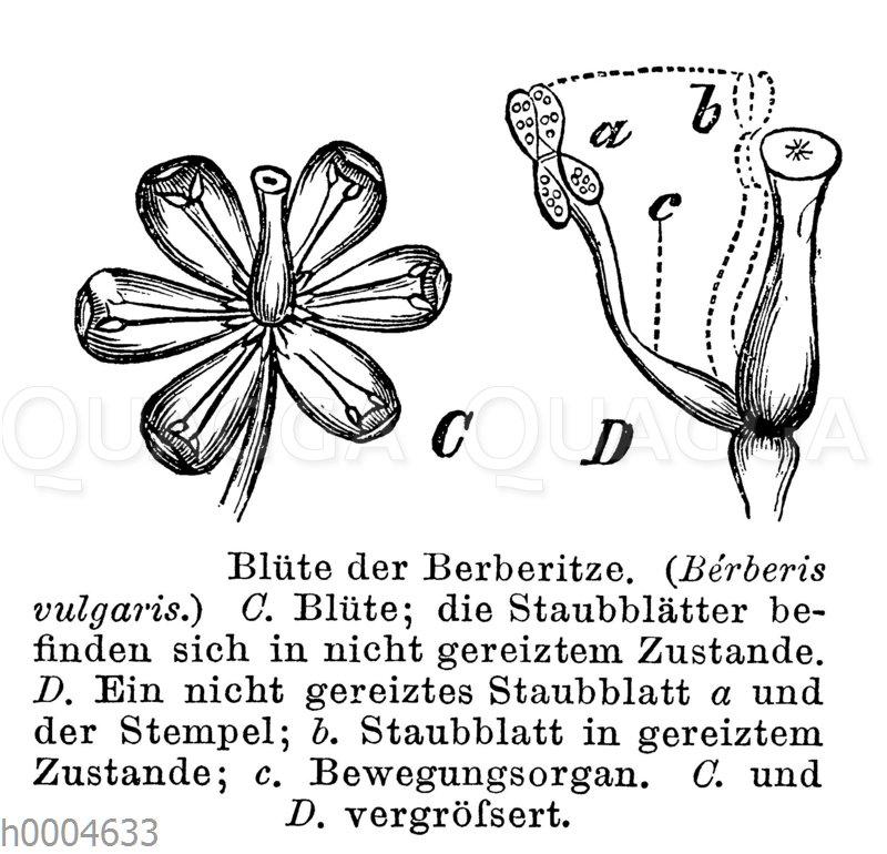 Berberitze: Blüte