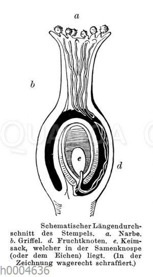 Blütenstempel: Schematischer Längsdurchschnitt