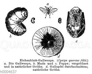 Eichenblattgallwespe