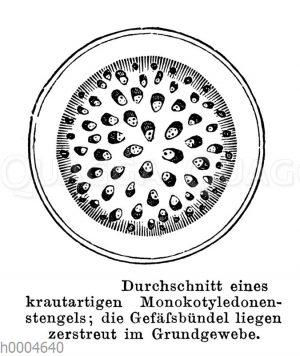 Durchschnitt eines krautigen Monokotyledonenstängels