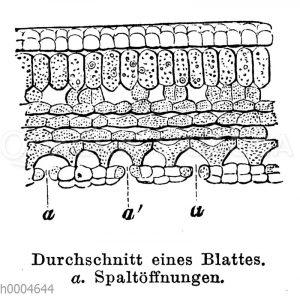 Durchschnitt eines Blattes mit Spaltöffnungen