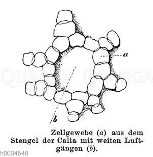 Calla: Zellgewebe aus dem Stängel