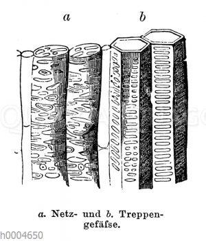 Netzgefäß und Treppengefäße