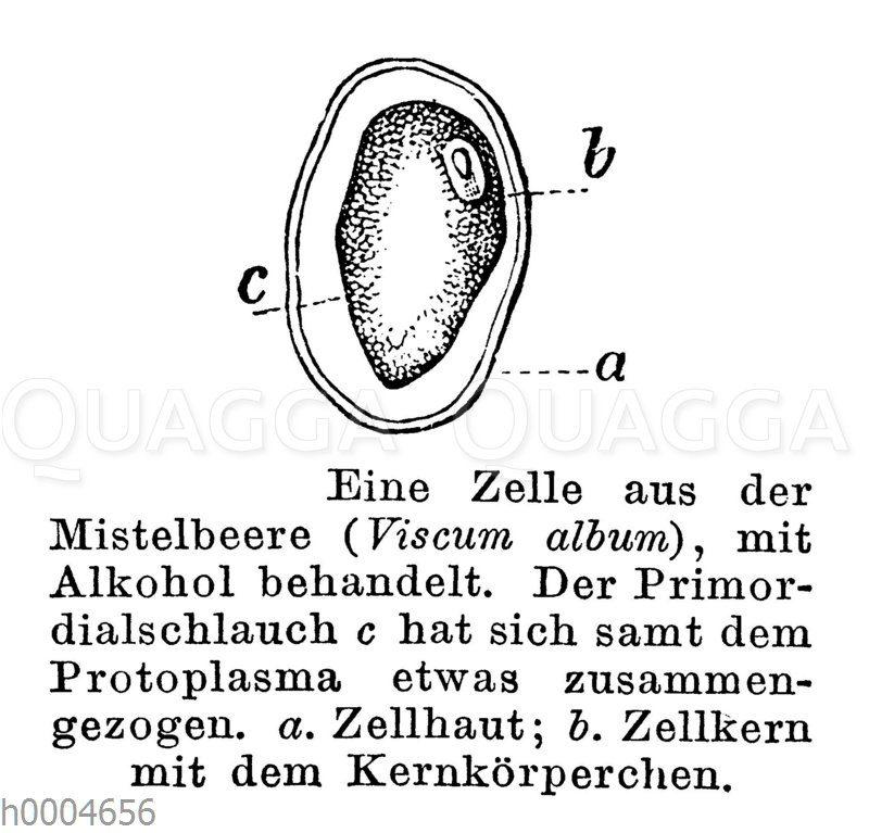 Mistel: Zelle aus der Beere