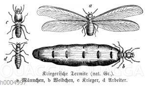 Kriegerische Termite