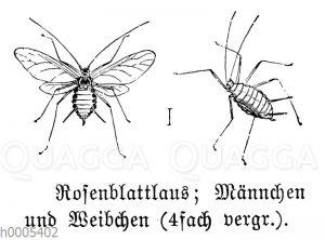Rosenblattlaus