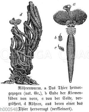 Runzliger Röhrenwurm