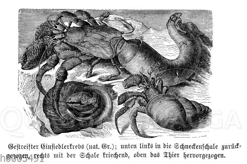 Pagurus striatus- Gestreifter Einsiedlerkrebs