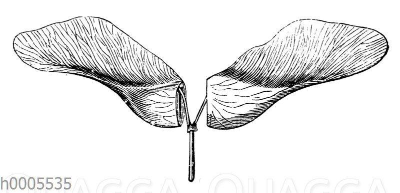 Spitzahorn: Flügelfrucht